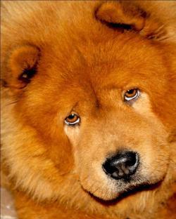Chow Chow clipart sad