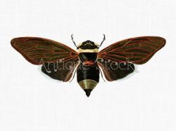 Cicada clipart brown