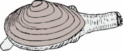 Mussels clipart clam