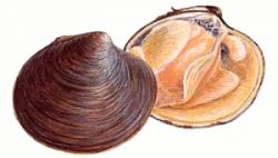 Clams clipart shellfish