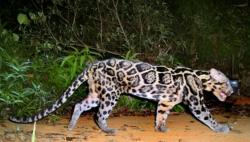Clouded Leopard  clipart