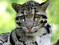 Clouded Leopard  clipart rare