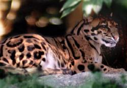 Clouded Leopard  clipart taiwan
