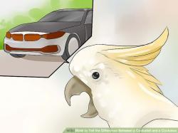 Cockatiel clipart easy