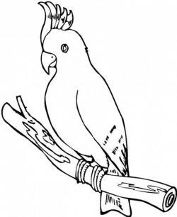 Drawn parakeet cockatoo