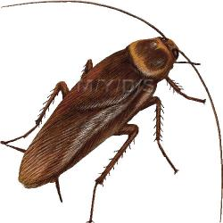 Cockroach clipart bug