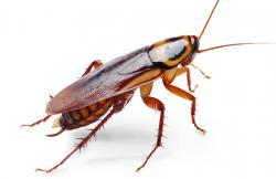 Cockroach clipart roach