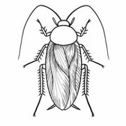 Cockroach clipart sketch