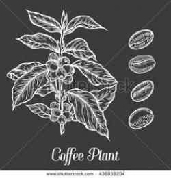 Coffee Plant clipart apple seed