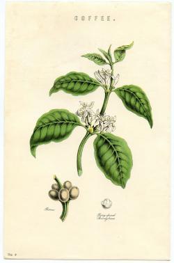 Coffee Plant clipart botanical illustration