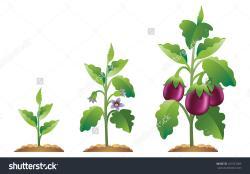 Eggplant clipart tree