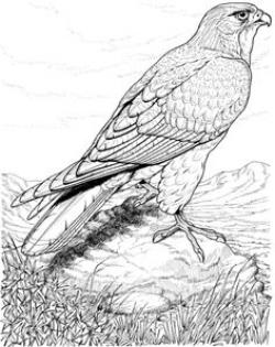 Cooper's Hawk clipart draw a