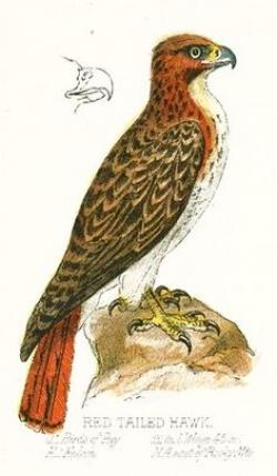 Cooper's Hawk clipart drawn