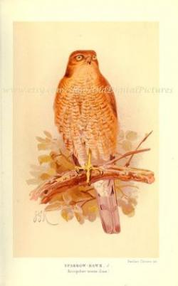 Cooper's Hawk clipart male