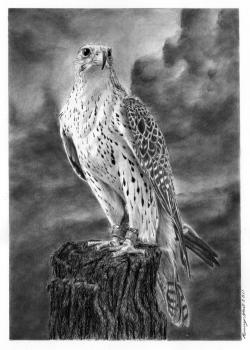 Drawn falcon pencil