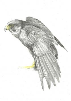 Cooper's Hawk clipart pencil drawing