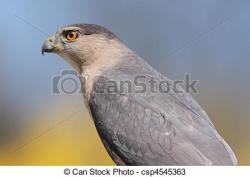 Cooper's Hawk clipart perched