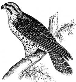 Cooper's Hawk clipart stylized