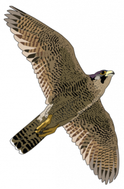Cooper's Hawk clipart transparent
