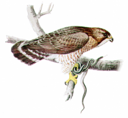Cooper's Hawk clipart vector