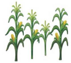 Cornfield clipart corn stalk