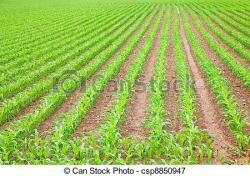 Cornfield clipart crop field