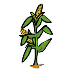 Cornfield clipart corn plant