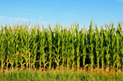 Cornfield clipart cash crop