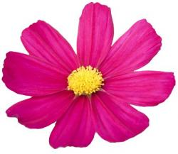 Cosmos clipart cosmos flower