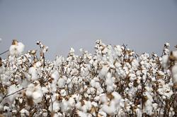 Cotton clipart cotton field