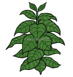 Tobacco clipart tobacco plant