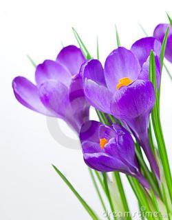 Crocus clipart floral