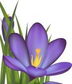 Crocus clipart royalty free