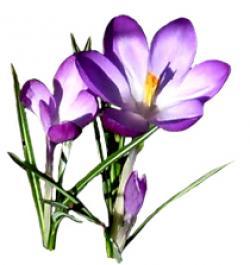 Crocus clipart spring free
