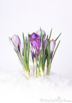 Crocus clipart spring snow
