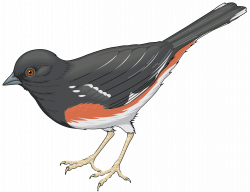 Cuckoo clipart bird tree