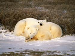Cuddling clipart polar bear