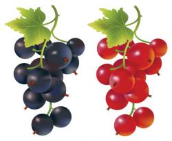 Currants clipart