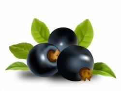 Currants clipart blackcurrant