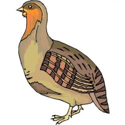 Quail clipart partridge