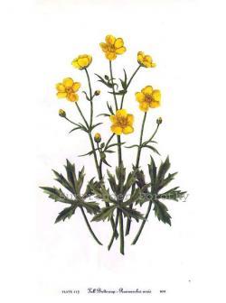 Buttercup clipart wild flower