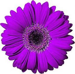 Petal clipart gerbera daisy