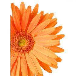 Orange Flower clipart gerbera daisy