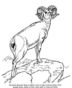 Dall Sheep clipart
