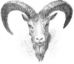 Dall Sheep clipart ram head