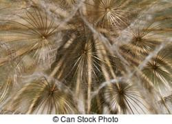 Dandelion clipart tranquil