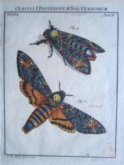 Deaths Head Moth clipart chest