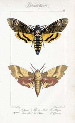 Deaths Head Moth clipart crow