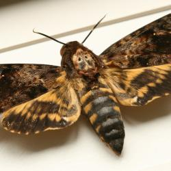 Deaths Head Moth clipart realistic