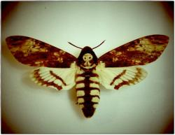 Deaths Head Moth clipart rib